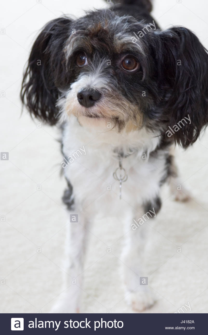 Chinese Crested Powder Puff Black And White Dog The