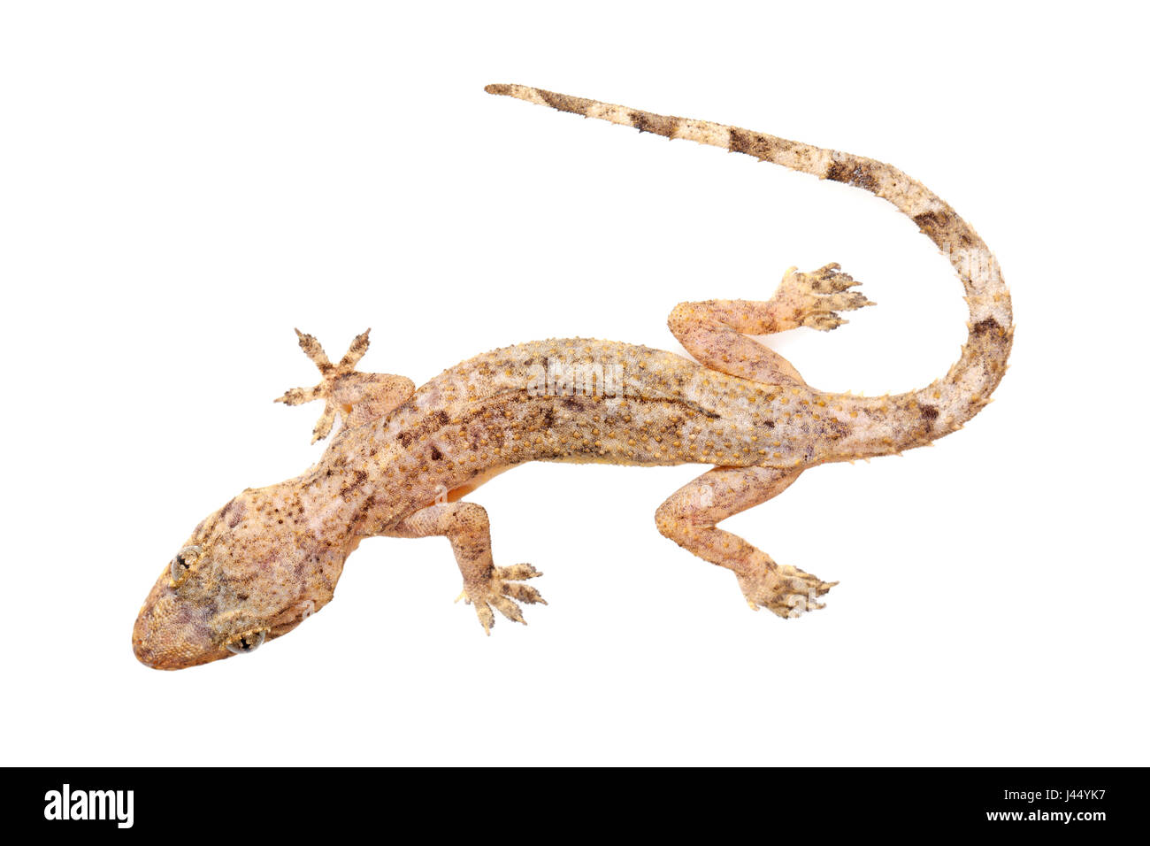 rendered photo of a moreau's tropical house gecko stock photo