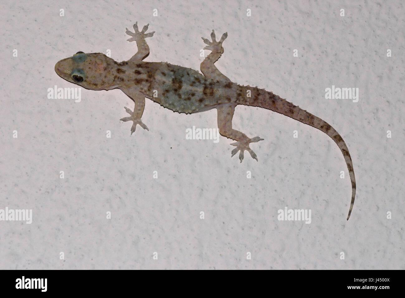 wall lizard gecko stock photos & wall lizard gecko stock images