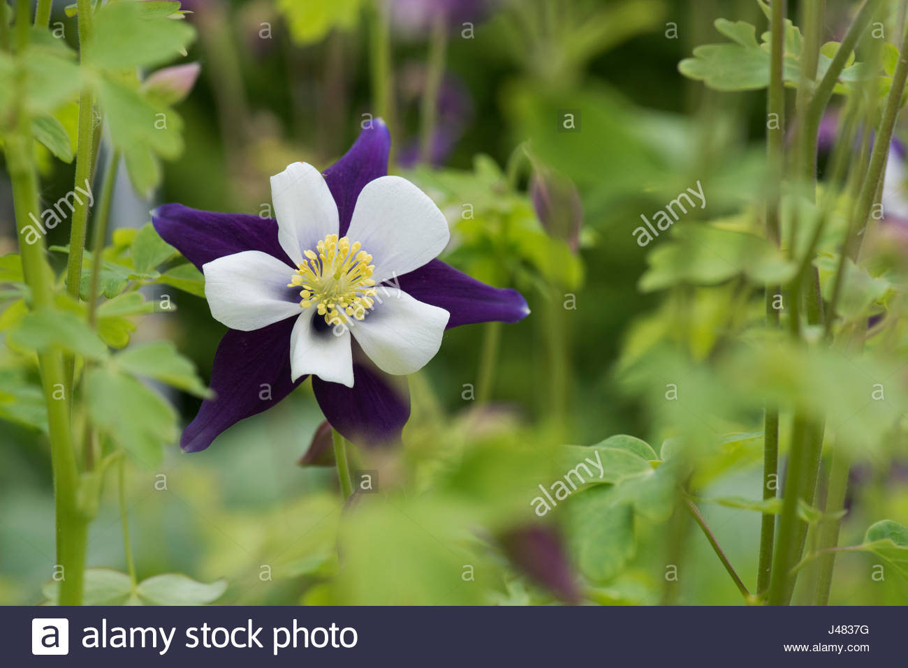 Cool white columbine flower contemporary wedding and flowers cute white columbine flower gallery images for wedding gown ideas izmirmasajfo Images