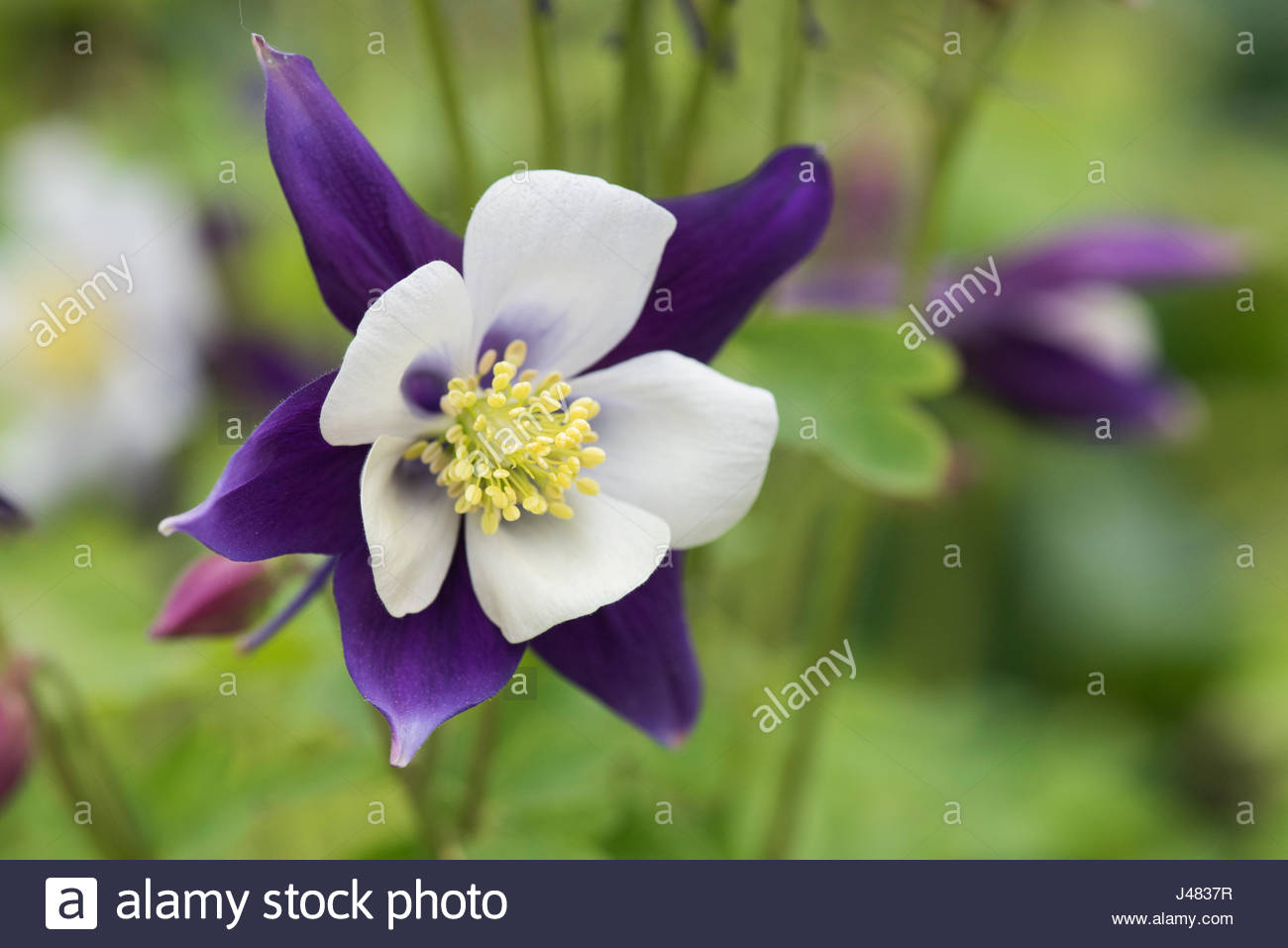 Cool white columbine flower contemporary wedding and flowers aquilegia swan violet white columbine flower in an english izmirmasajfo Images