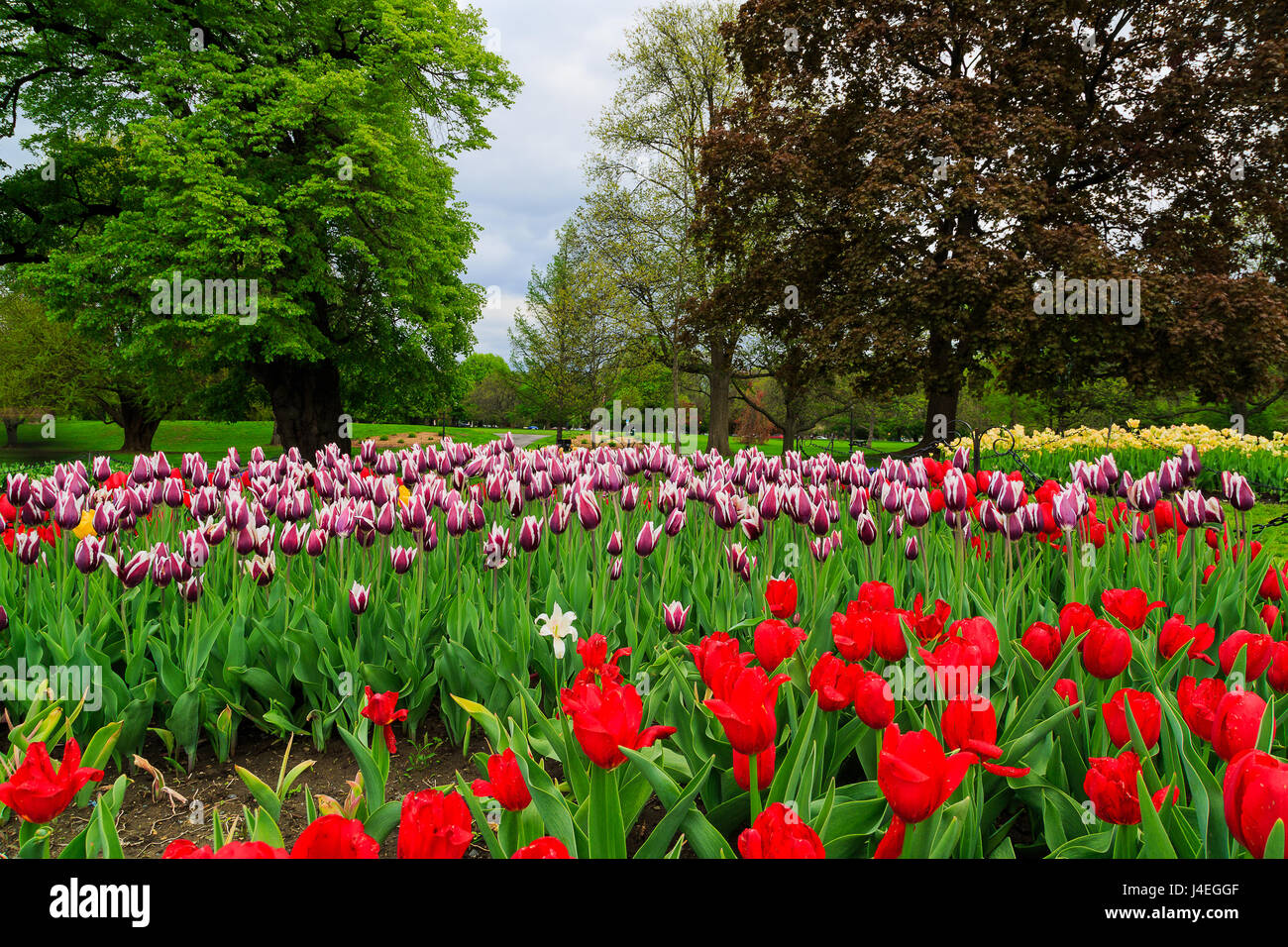 Springtime In Albany NY At Washington Park. Tulips Of Read, Orange, Yellow,  White, Pink, Purple On Display With Blue Bells