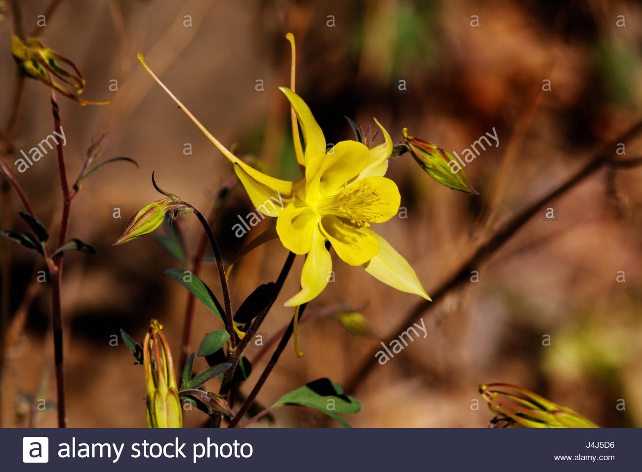 yellow-columbine-aquilegia-chrysantha-go