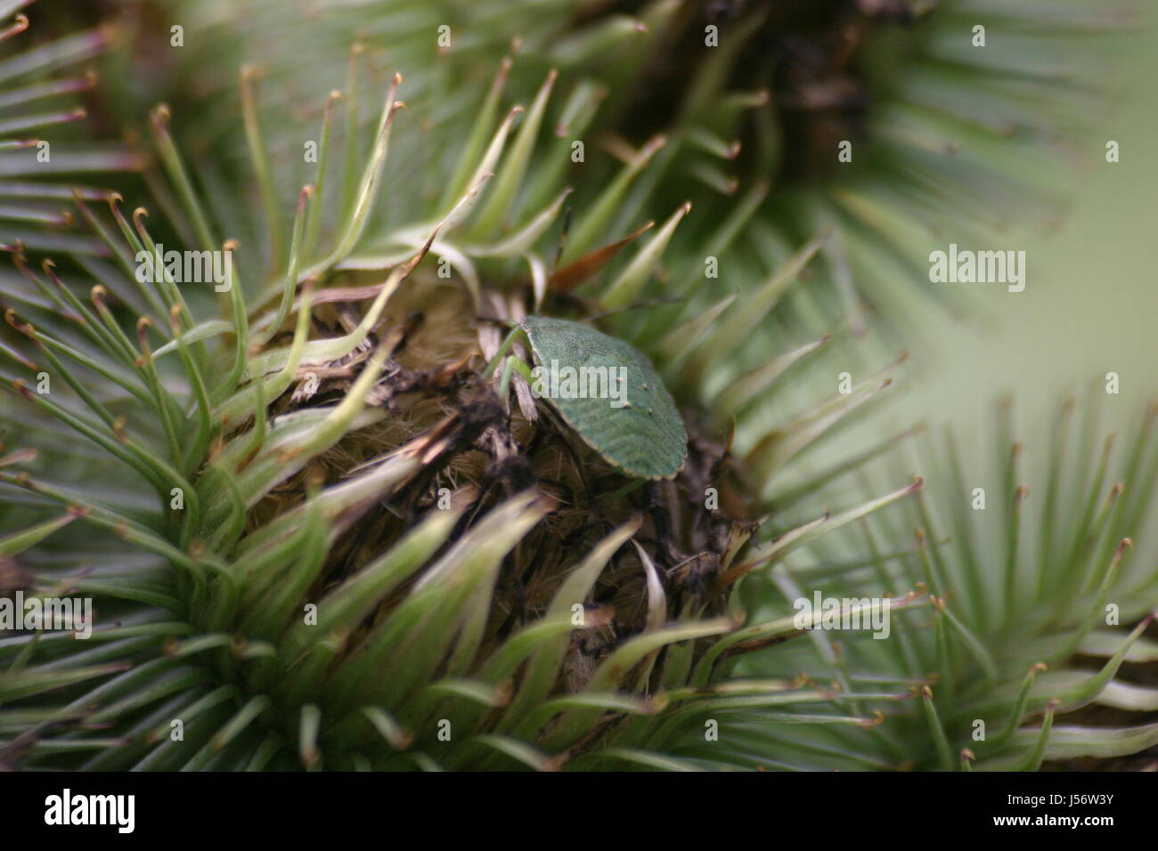 Insect Thistle Spiny Bug Bur Scratchy Grne Wanze Schildwanze Trockene  Distel Stock Image With Grne