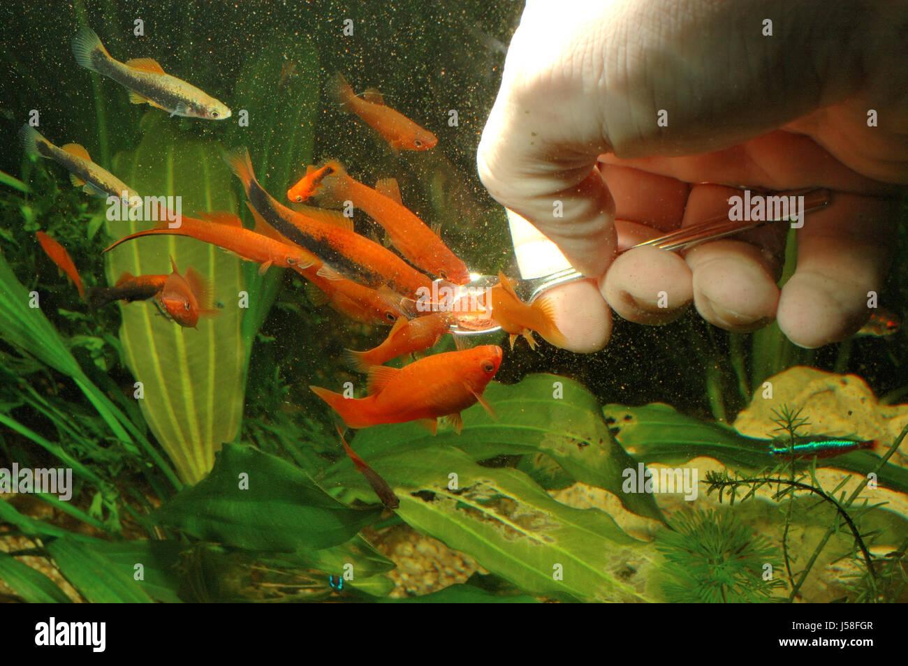 Freshwater fish hobby - Hand Fodder Aquarium Fish Hobby Fresh Water Water Feed Pisces Ruddiness Red Stock Image