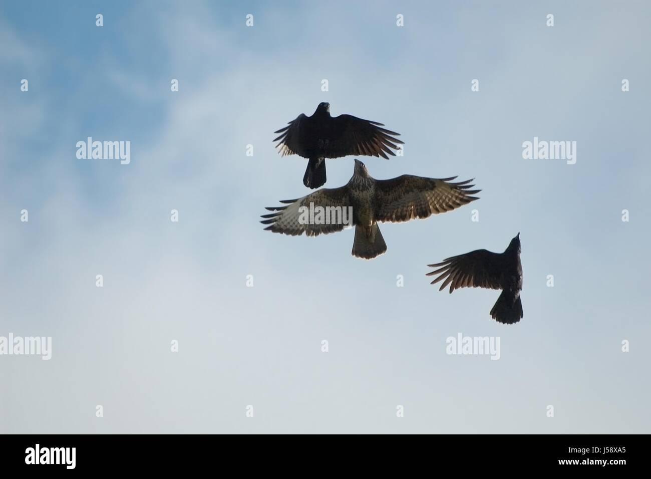 three ravens