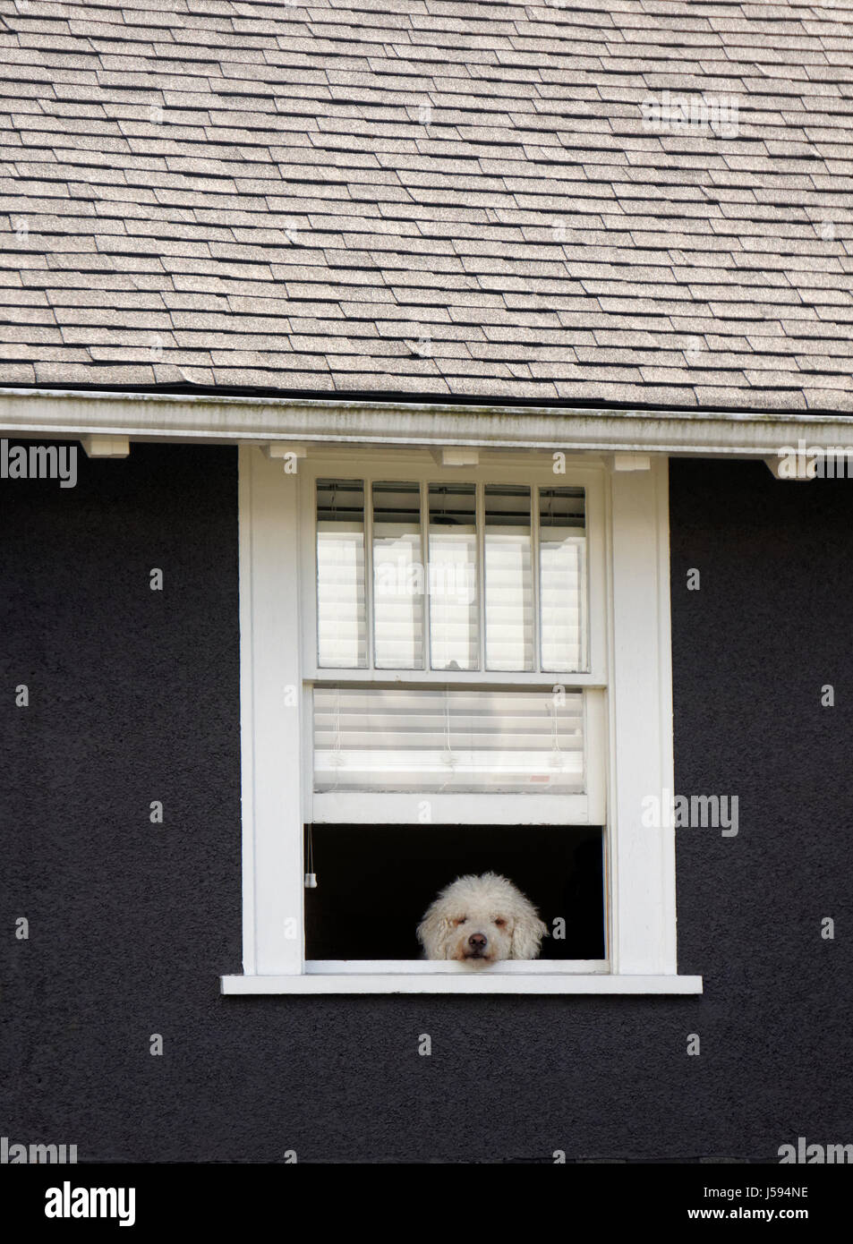 bored-looking-shaggy-white-dog-peering-o