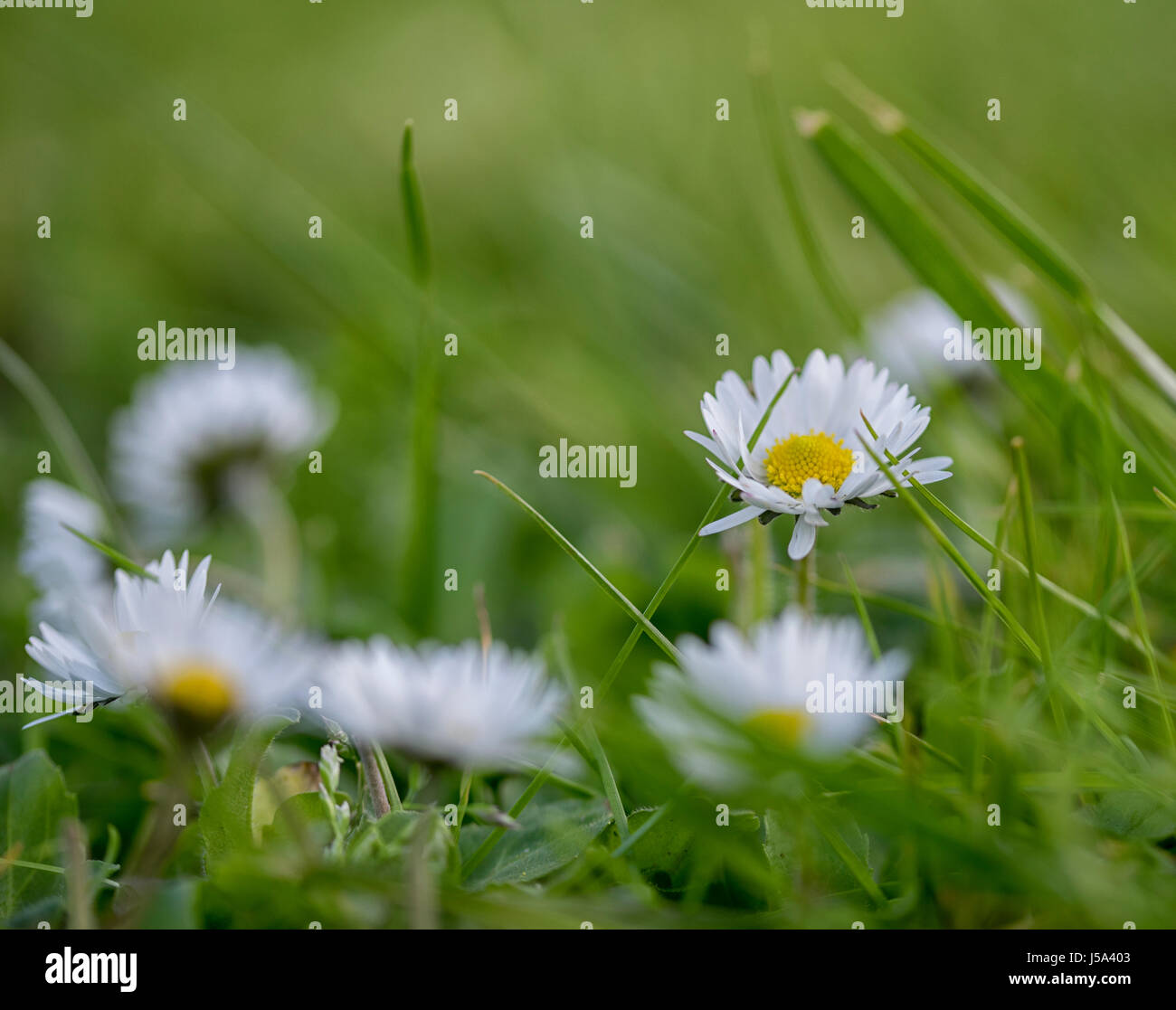 Tiny white flowers stock photos tiny white flowers stock images close up of tiny white and yellow flowers partially hidden among blades of green grass dhlflorist Image collections