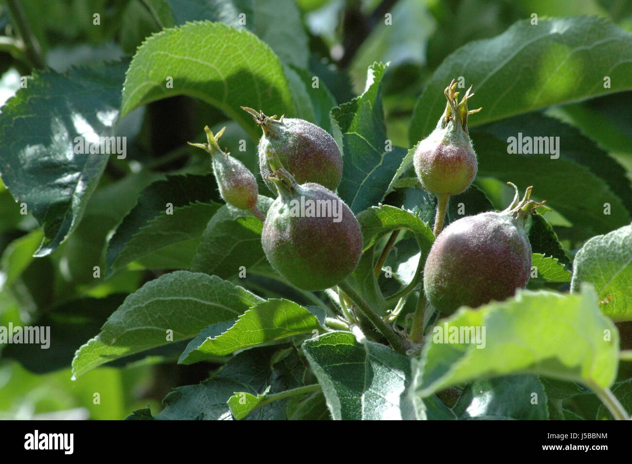 green apple tree leaves. stock photo - tree leaves apple pome fruit apples immature infantile childish grow green