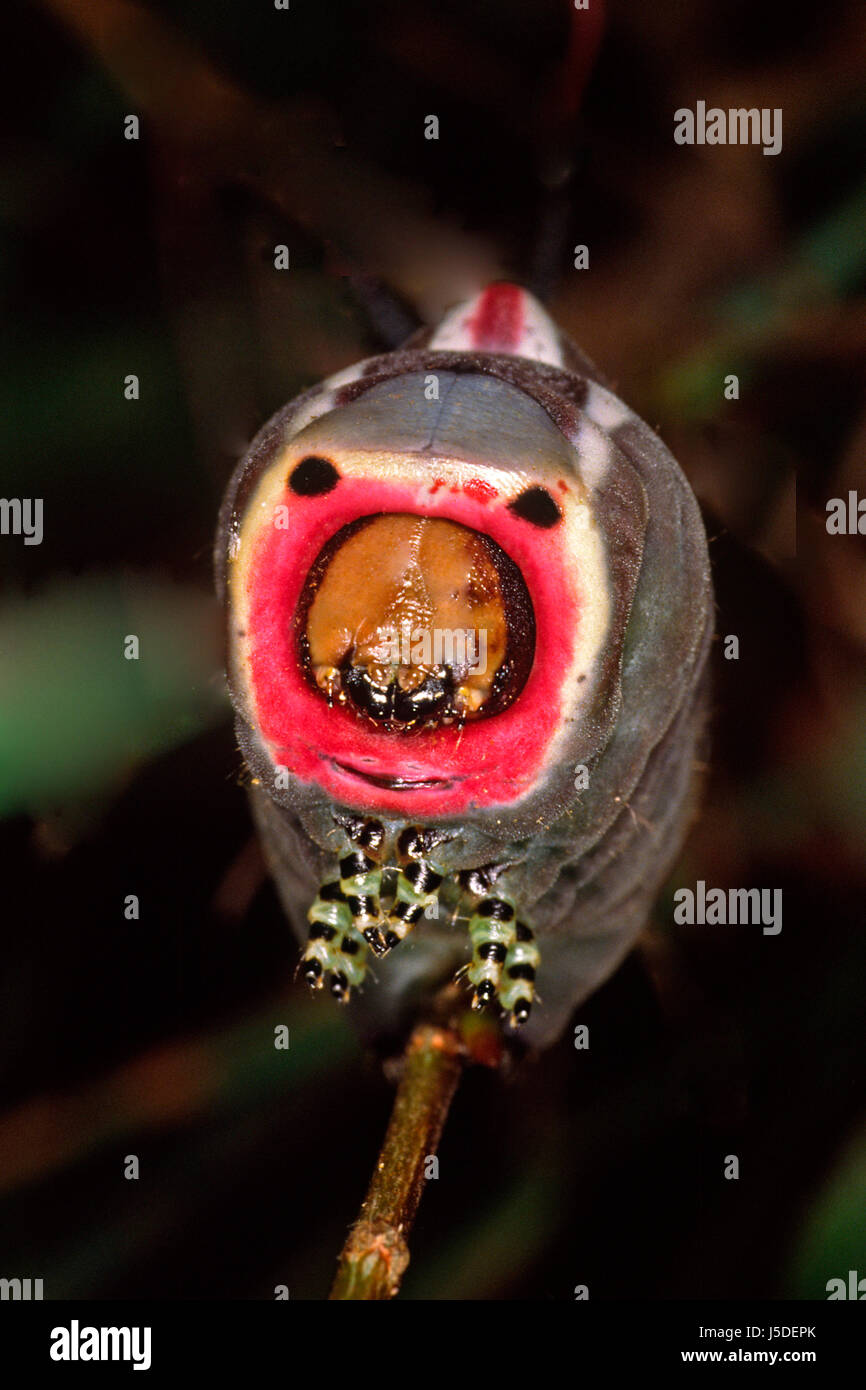 Free Cheap Stock Photo Butterfly Face Caterpillar Butterflies Cerura Vinula  Groer With Groer With Groer