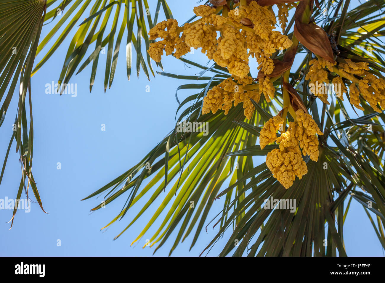 Palm tree blooming yellow flowers against blue sky stock photo palm tree blooming yellow flowers against blue sky mightylinksfo Gallery