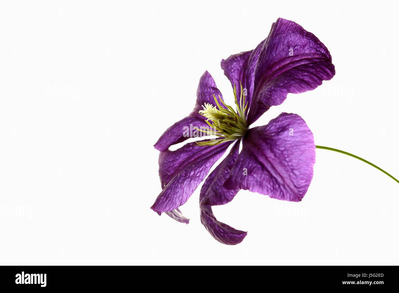 Clematis studio shot of single purple flower with yellow stamen clematis studio shot of single purple flower with yellow stamen mightylinksfo Choice Image