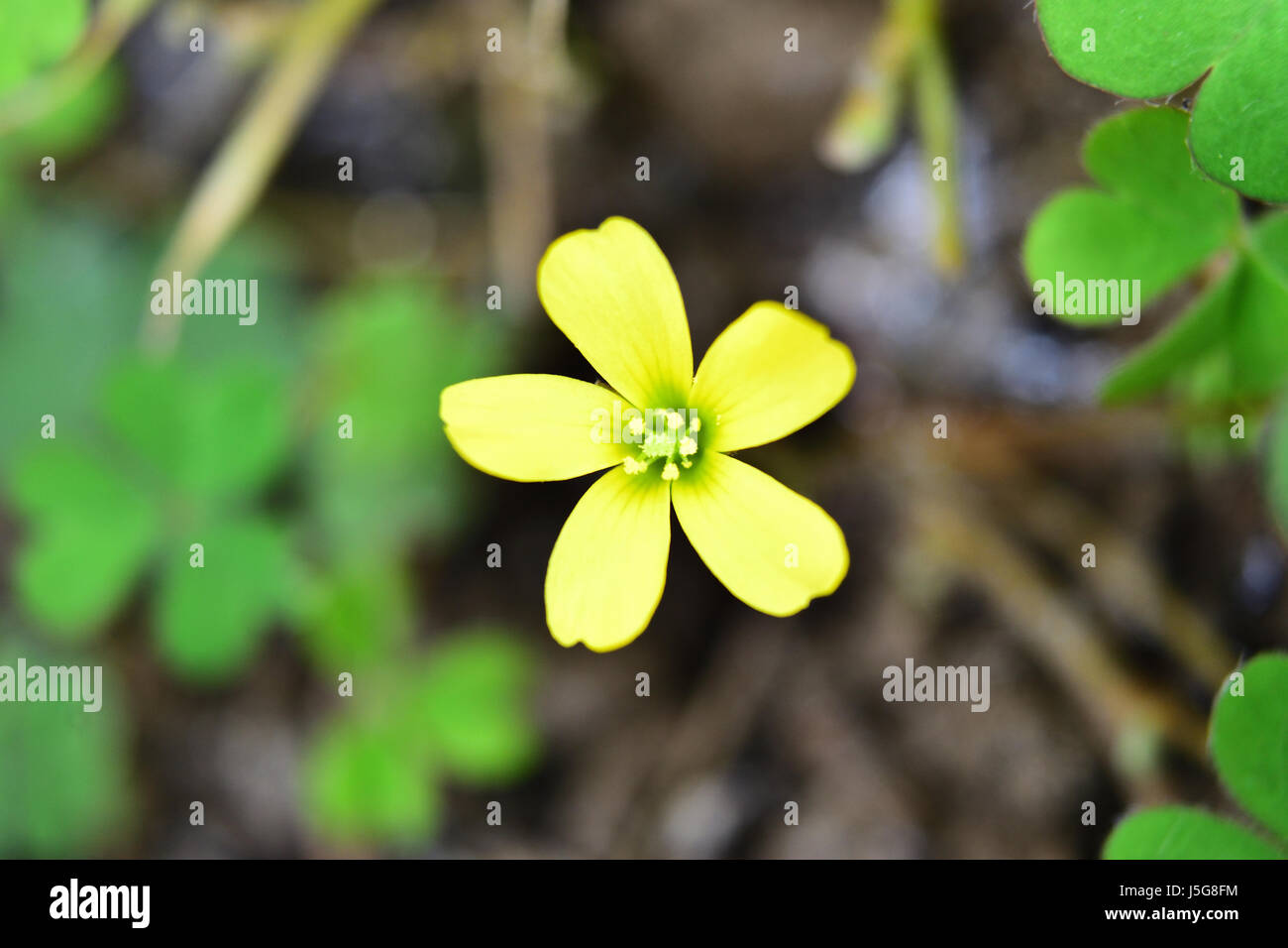 Close up of little yellow flower with blurred clover leaves stock close up of little yellow flower with blurred clover leaves background mightylinksfo Choice Image