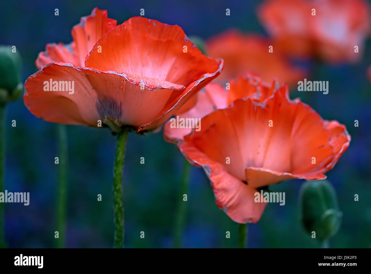 Flower Plant Poppy Material Drug Anaesthetic Addictive Drug
