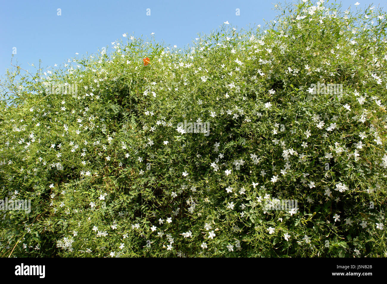 jasminum grandiflorum stock photos jasminum grandiflorum. Black Bedroom Furniture Sets. Home Design Ideas