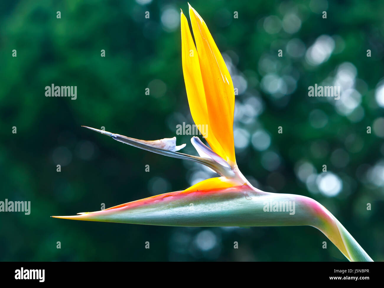 Bird of paradise flowers stock photos bird of paradise flowers the bird of paradise flowers bloom in the love garden this is the flower that biocorpaavc