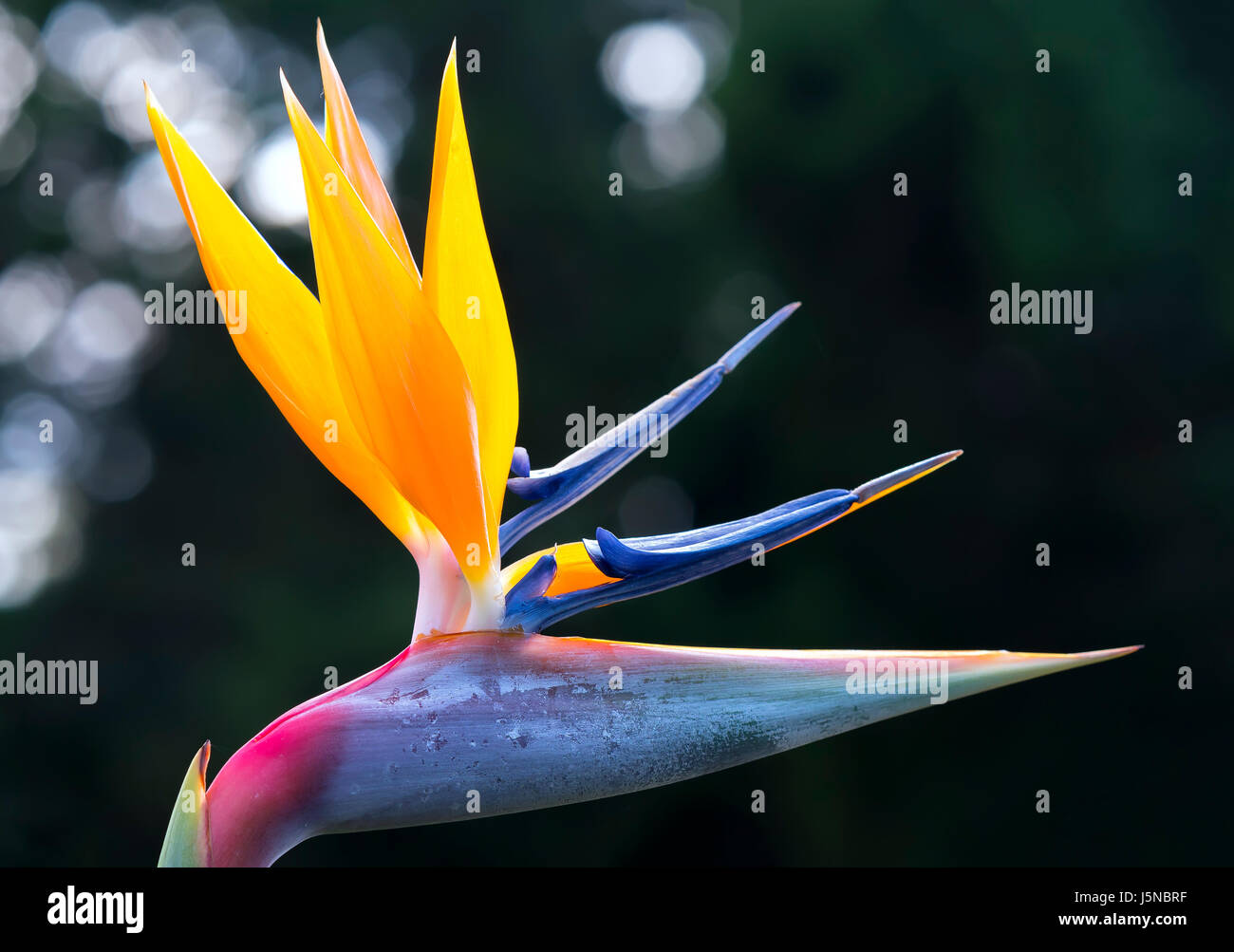 The bird of paradise flowers bloom in the love garden this is the the bird of paradise flowers bloom in the love garden this is the flower that symbolizes flying birds that express freedom in life biocorpaavc