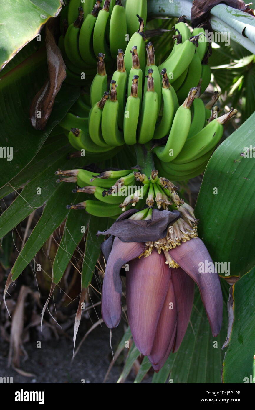 Banana Fruit And Leaves For Building Material