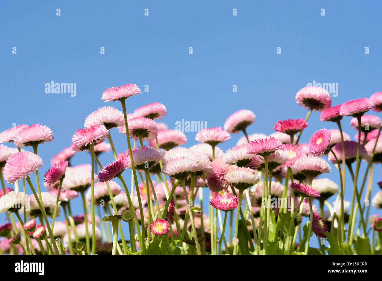 Daisy double daisy bellis perennis side view of pink flowers daisy double daisy bellis perennis side view of pink flowers growing outdoor with blue sky behind izmirmasajfo Image collections