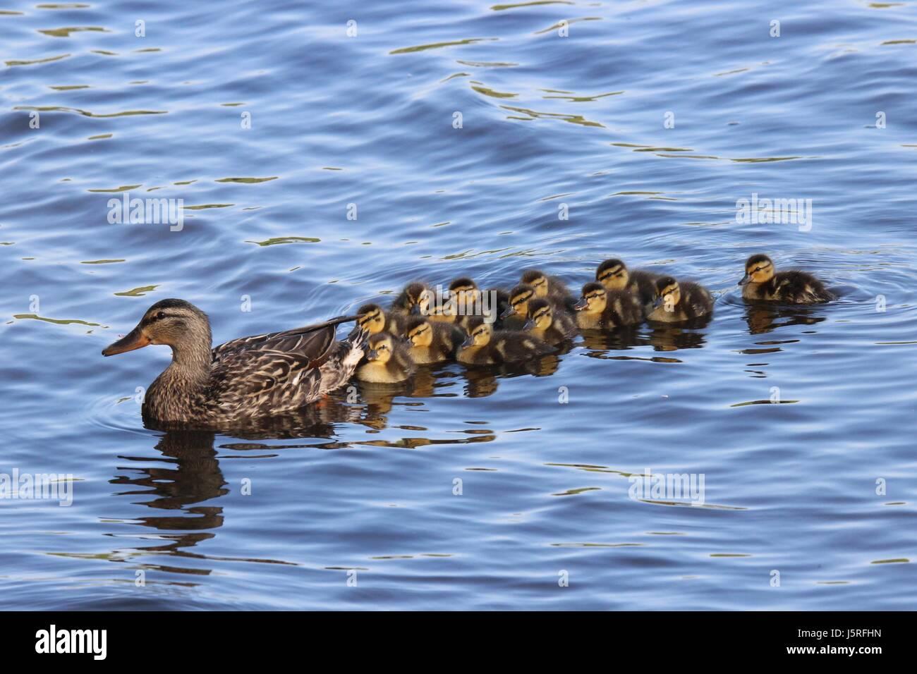mother duck ducklings water mallard stock photos u0026 mother duck
