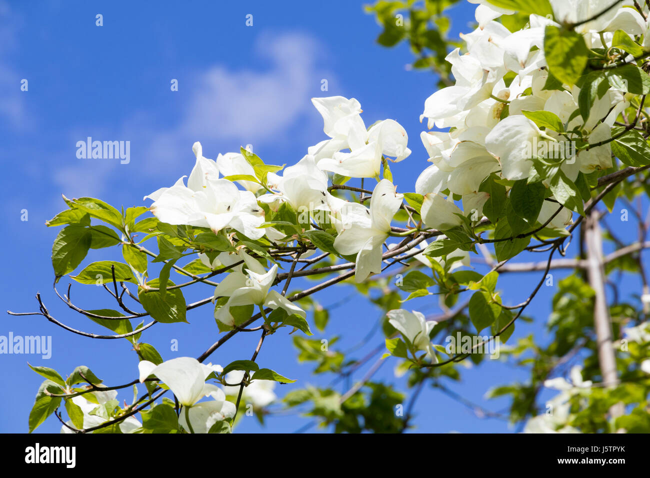 Dogwood Tree Flowers Stock Photos & Dogwood Tree Flowers Stock ...