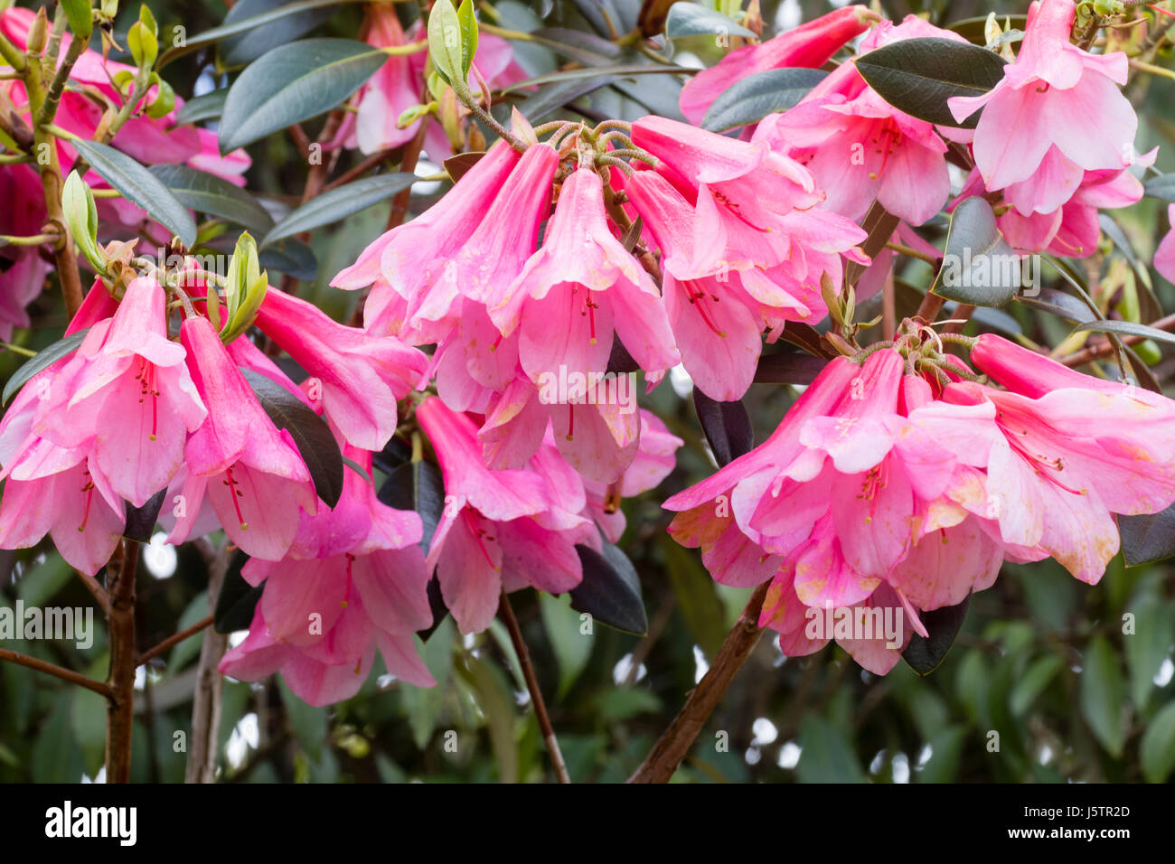 Hanging pink bell flowers of the may blooming evergreen shrub stock hanging pink bell flowers of the may blooming evergreen shrub rhododendron cinnabarinum waterfall mightylinksfo