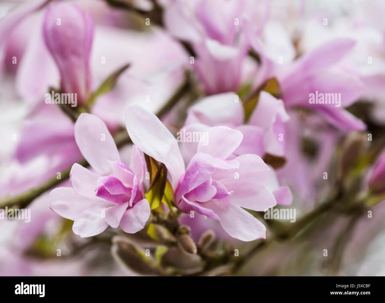 Magnolia X Loebneri Stock s & Magnolia X Loebneri Stock Alamy