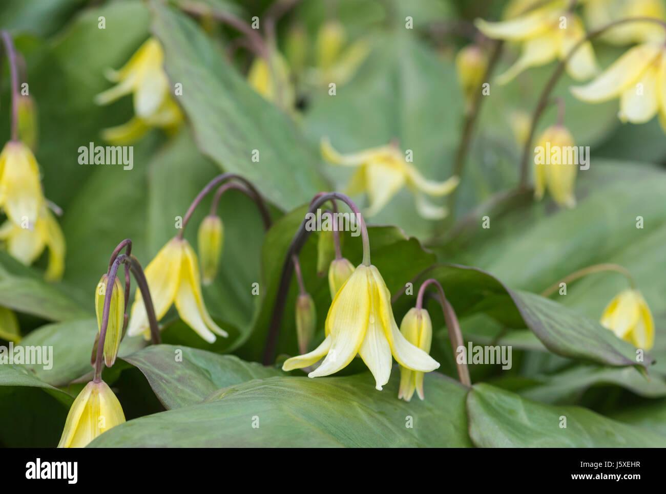 Bellwort sessile bellwort uvularia sessilifolia bell shaped bellwort sessile bellwort uvularia sessilifolia bell shaped yellow flowers growing outdoor mightylinksfo