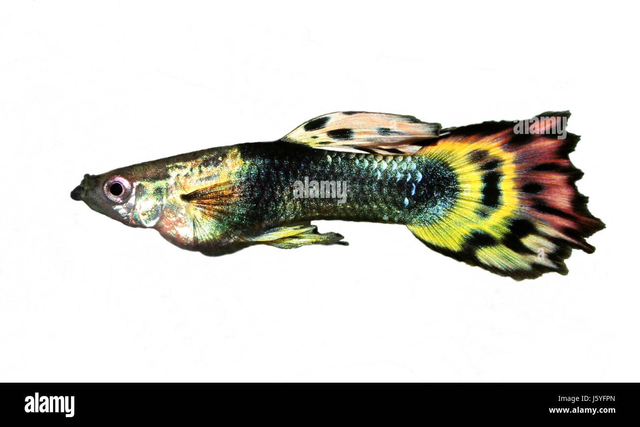 guppy multi colored fish stock photos u0026 guppy multi colored fish