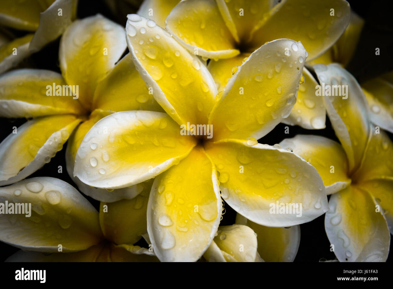 Hawaiian frangipaniplumeria flowers bunch stock photo royalty hawaiian frangipaniplumeria flowers bunch izmirmasajfo Choice Image