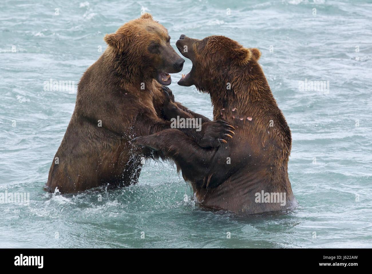 Ursus Arctos Alascensis Stock Photos & Ursus Arctos ...