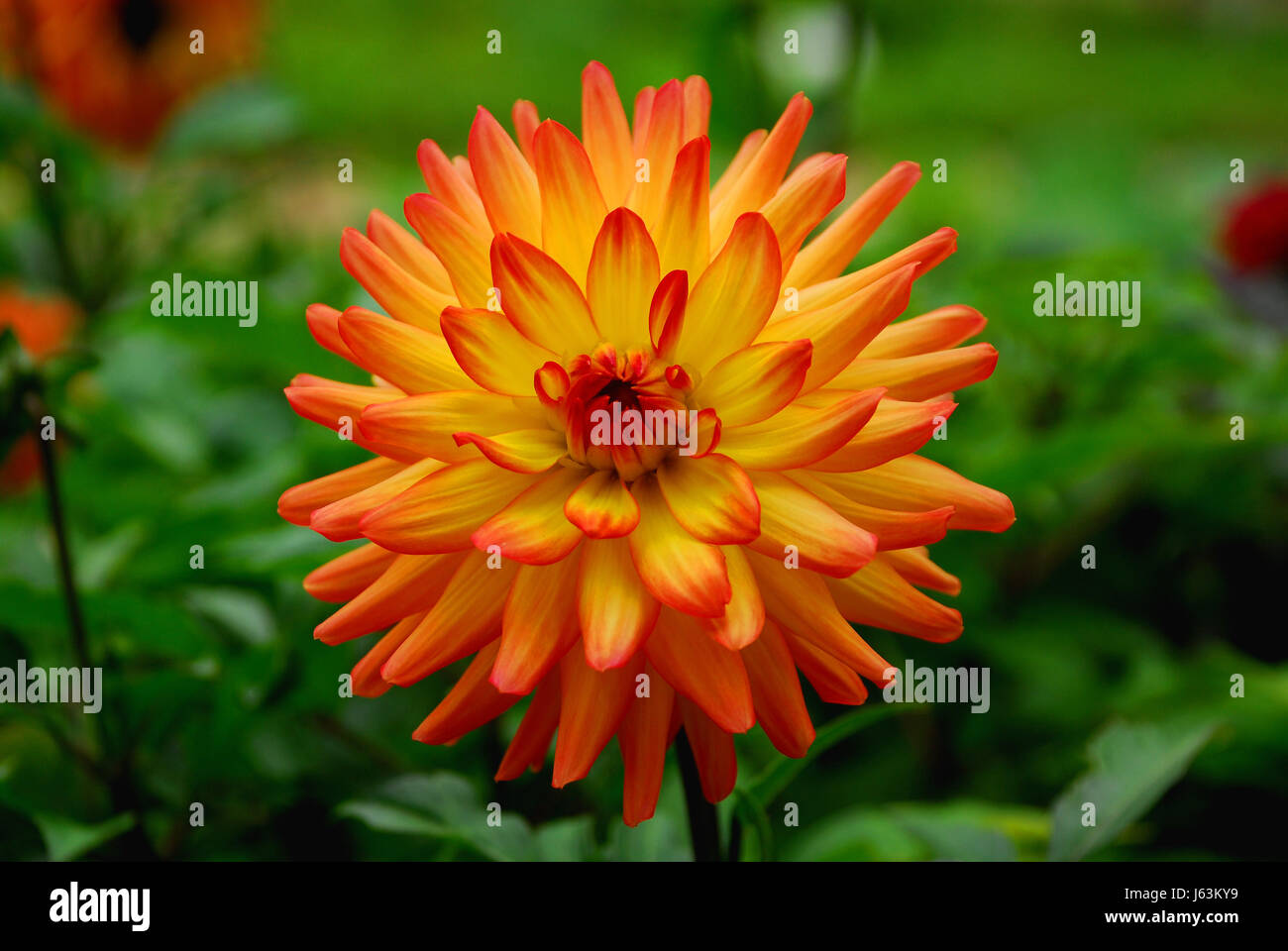 Little Dahlia Stock Photos Amp Little Dahlia Stock Images
