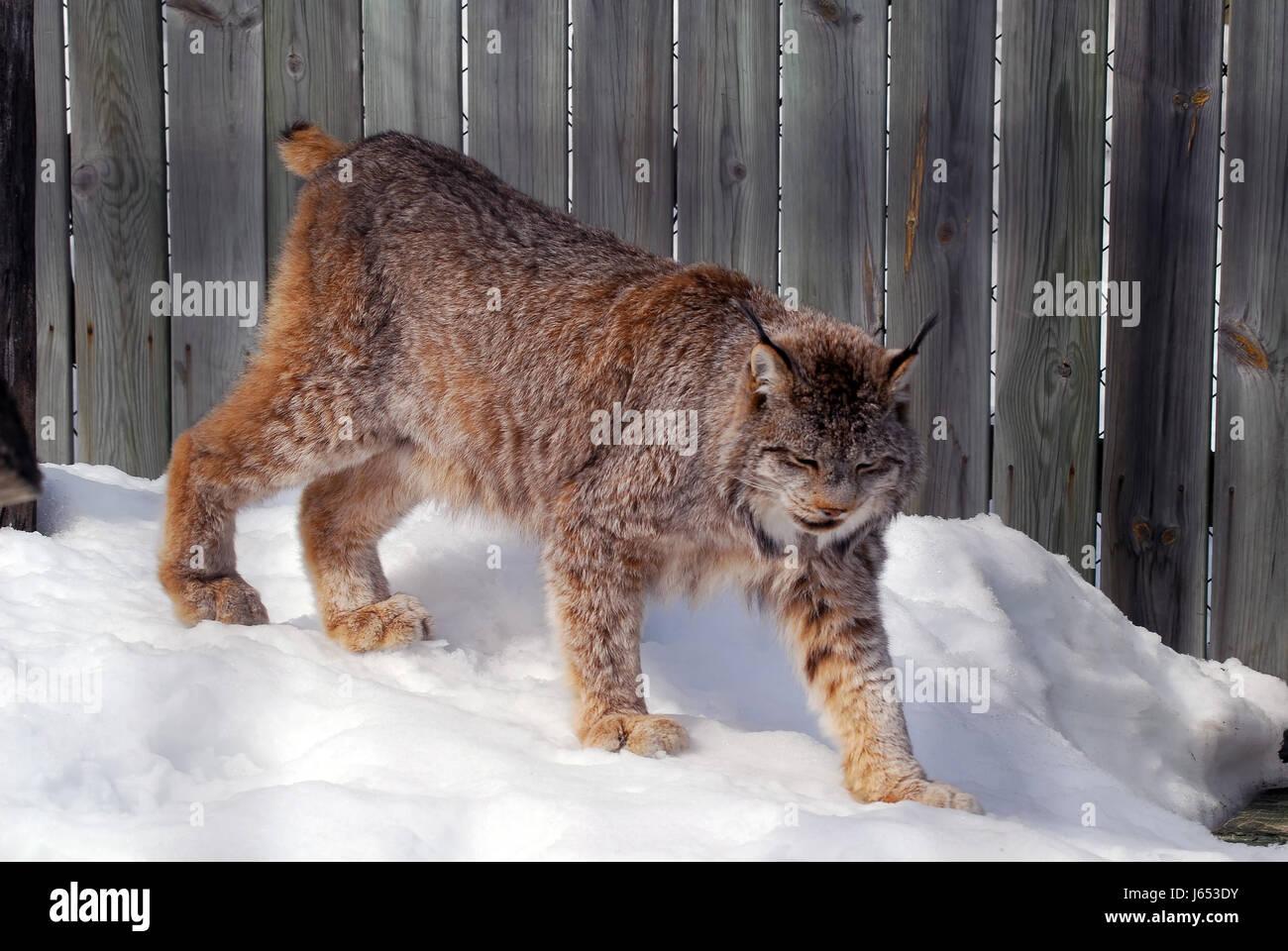 31   Amazing Lynx Vs for Lynx Vs Bobcat  568zmd