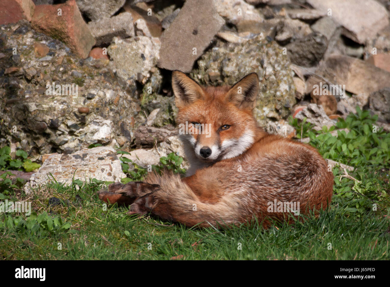 Marvelous Vixen Garden Stock Photos  Vixen Garden Stock Images  Alamy With Luxury Red Fox Vulpes Vulpes Single Adult Female Resting In Urban Garden During  Day With Archaic Garden Earthworms For Sale Also Wyevale Garden Centers In Addition Bens Cookies Covent Garden And Castle Garden Budapest As Well As Lister Teak Garden Furniture Additionally Garden Clearance Manchester From Alamycom With   Luxury Vixen Garden Stock Photos  Vixen Garden Stock Images  Alamy With Archaic Red Fox Vulpes Vulpes Single Adult Female Resting In Urban Garden During  Day And Marvelous Garden Earthworms For Sale Also Wyevale Garden Centers In Addition Bens Cookies Covent Garden From Alamycom