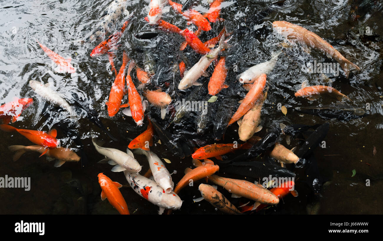 Gold fish pond stock photos gold fish pond stock images for Black and gold koi fish