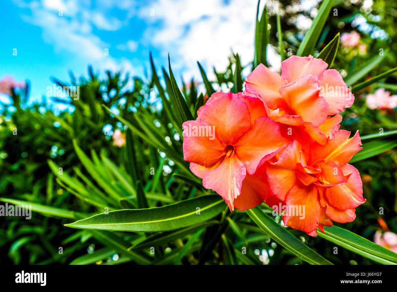Tropical Island Flowers: Polynesia Flower Stock Photos & Polynesia Flower Stock
