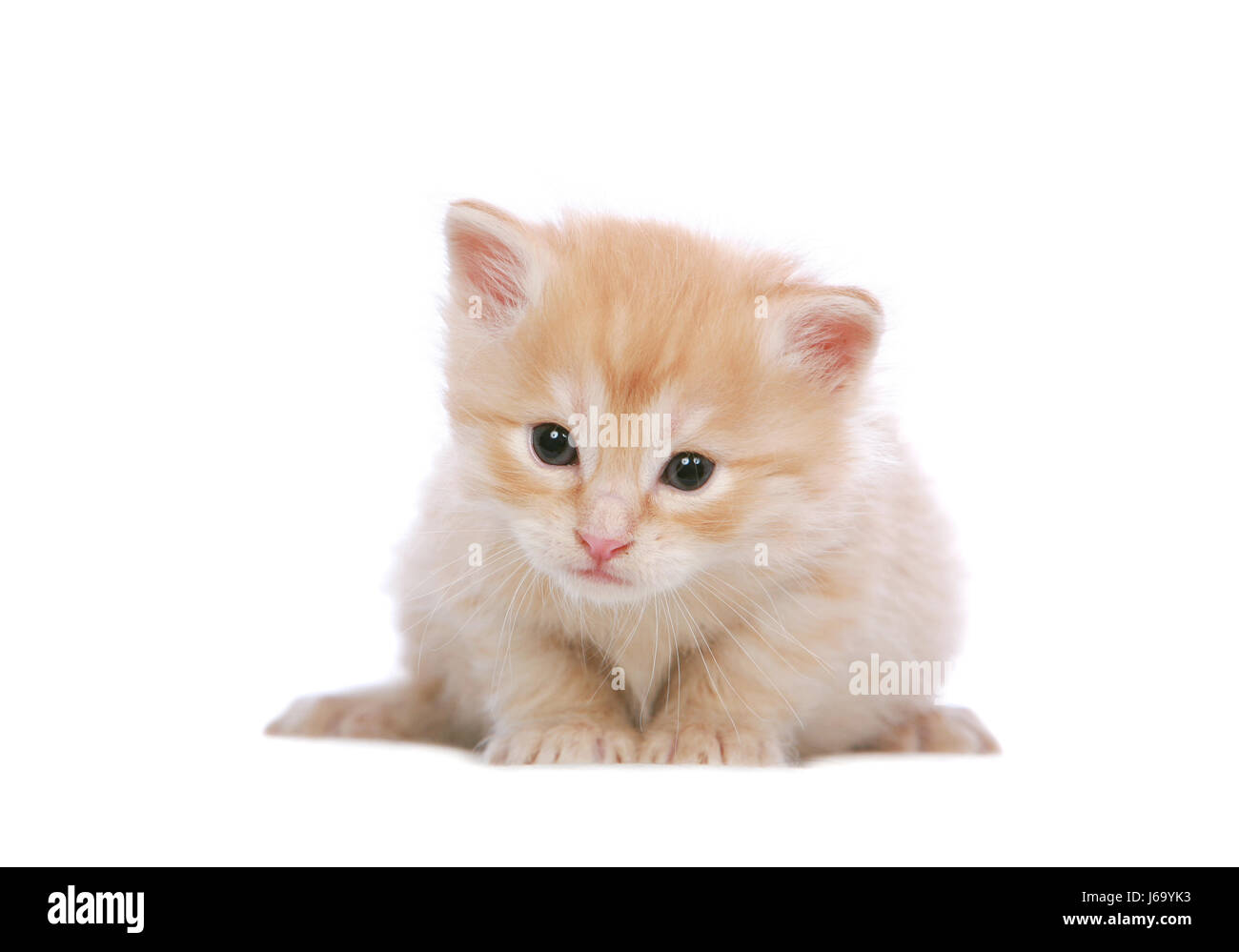 Cat Baby Kitten Ginger Angora White Red Eyes Cats Ears Look Glancing