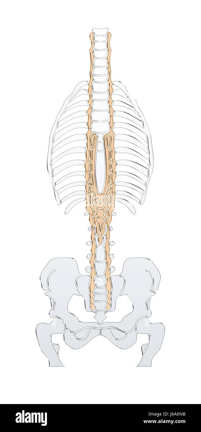 Skeleton Biology Anatomy Mummy Body Man Male Masculine Human Human