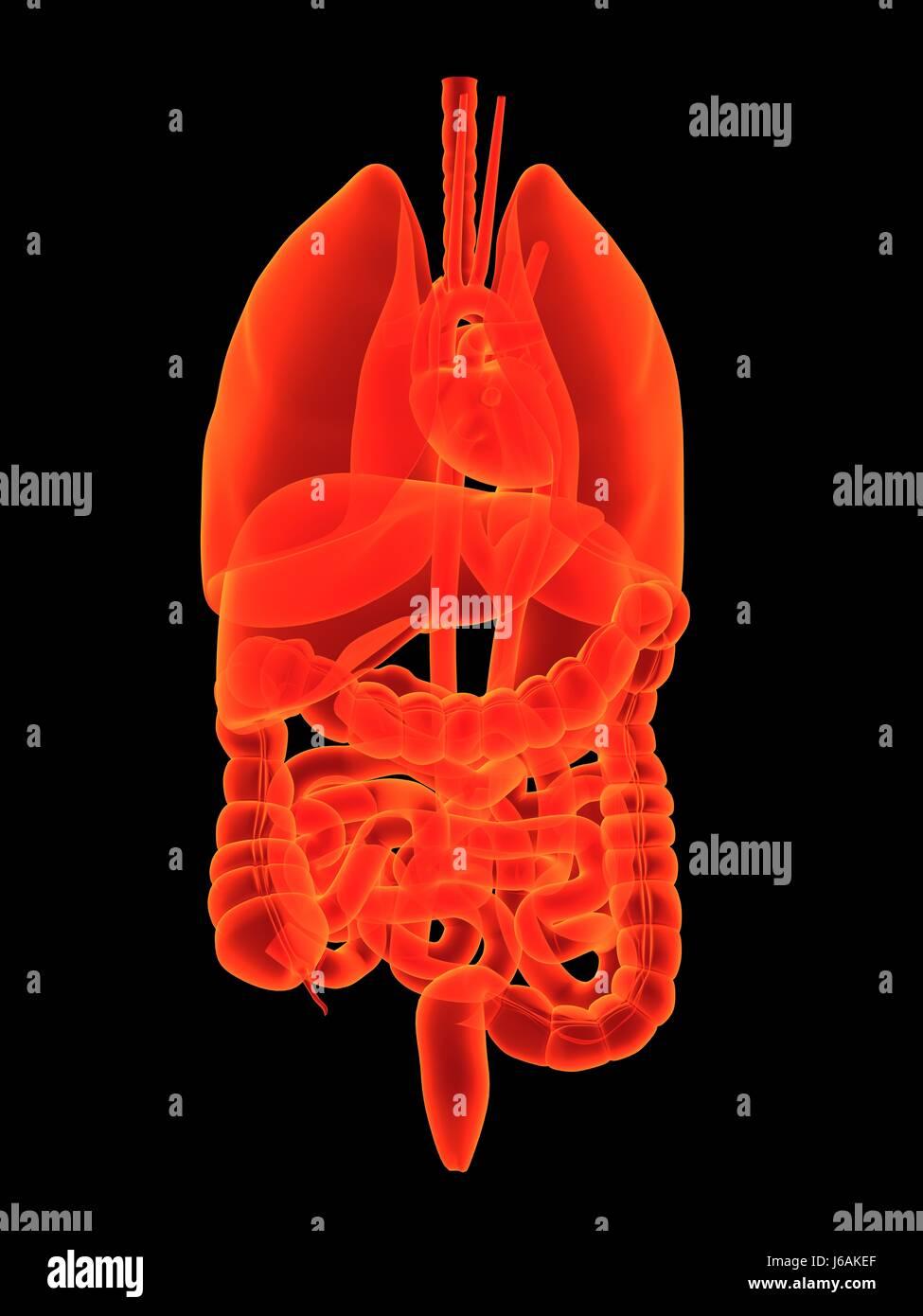 health science human human being belly tummy anatomy organ body ...