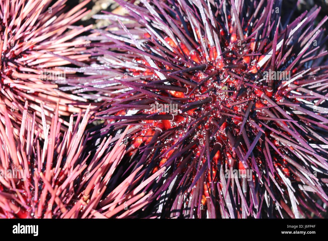 urchin spiky stock photos u0026 urchin spiky stock images alamy
