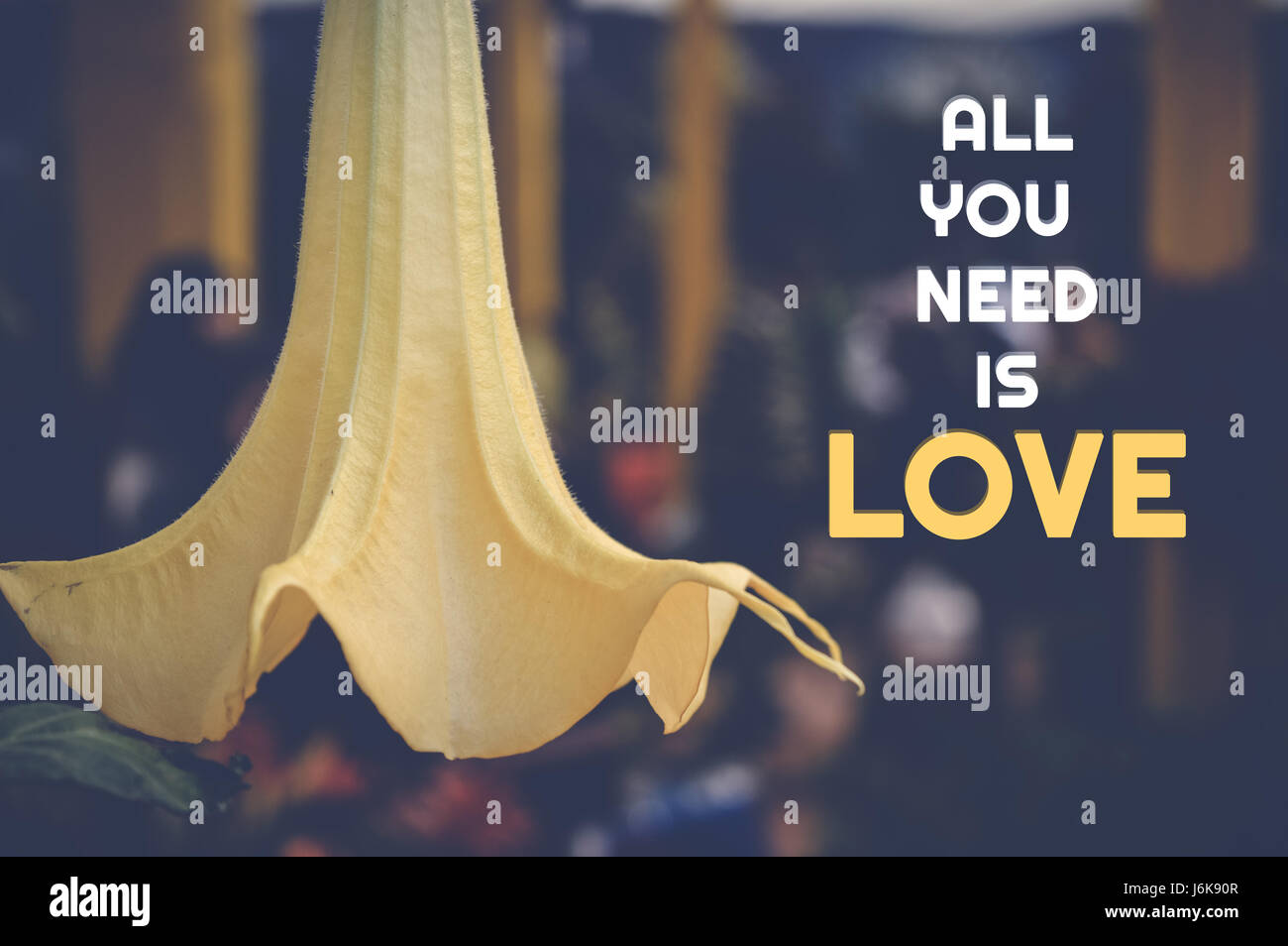Love Quote With Yellow Flower Background All You Need Is Love Stock