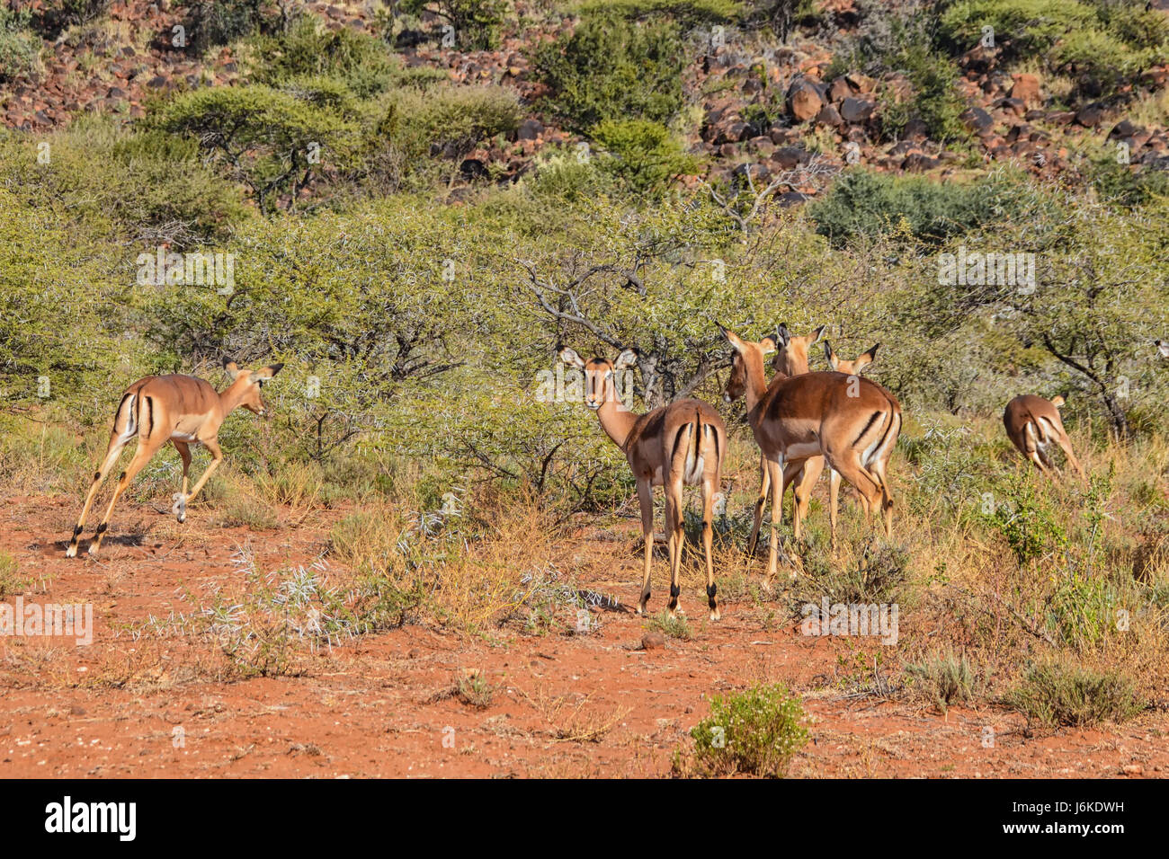Impala photos - Aepyceros melampus | Arkive