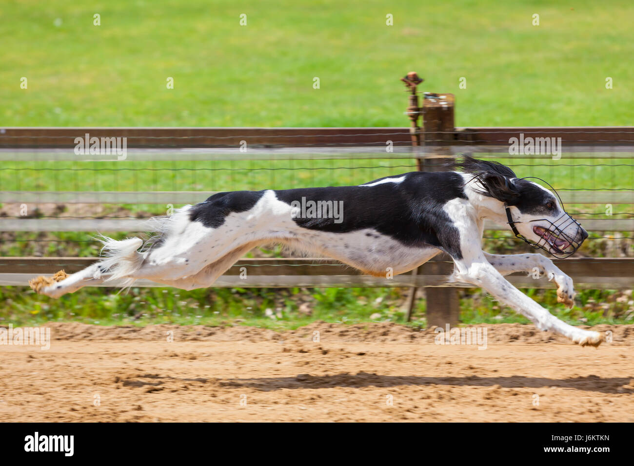 Saluki Stock Photos & Saluki Stock Images - Alamy