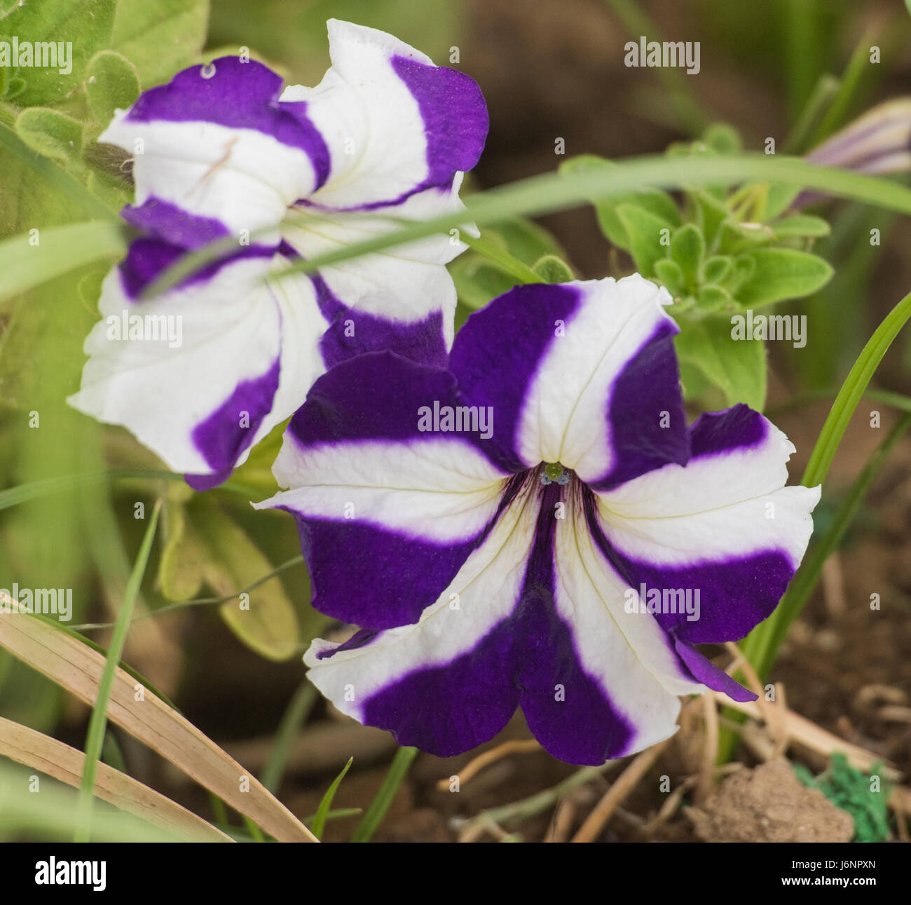 Close up detail of a purple and white striped pansy flower petals close up detail of a purple and white striped pansy flower petals and stigma in garden mightylinksfo