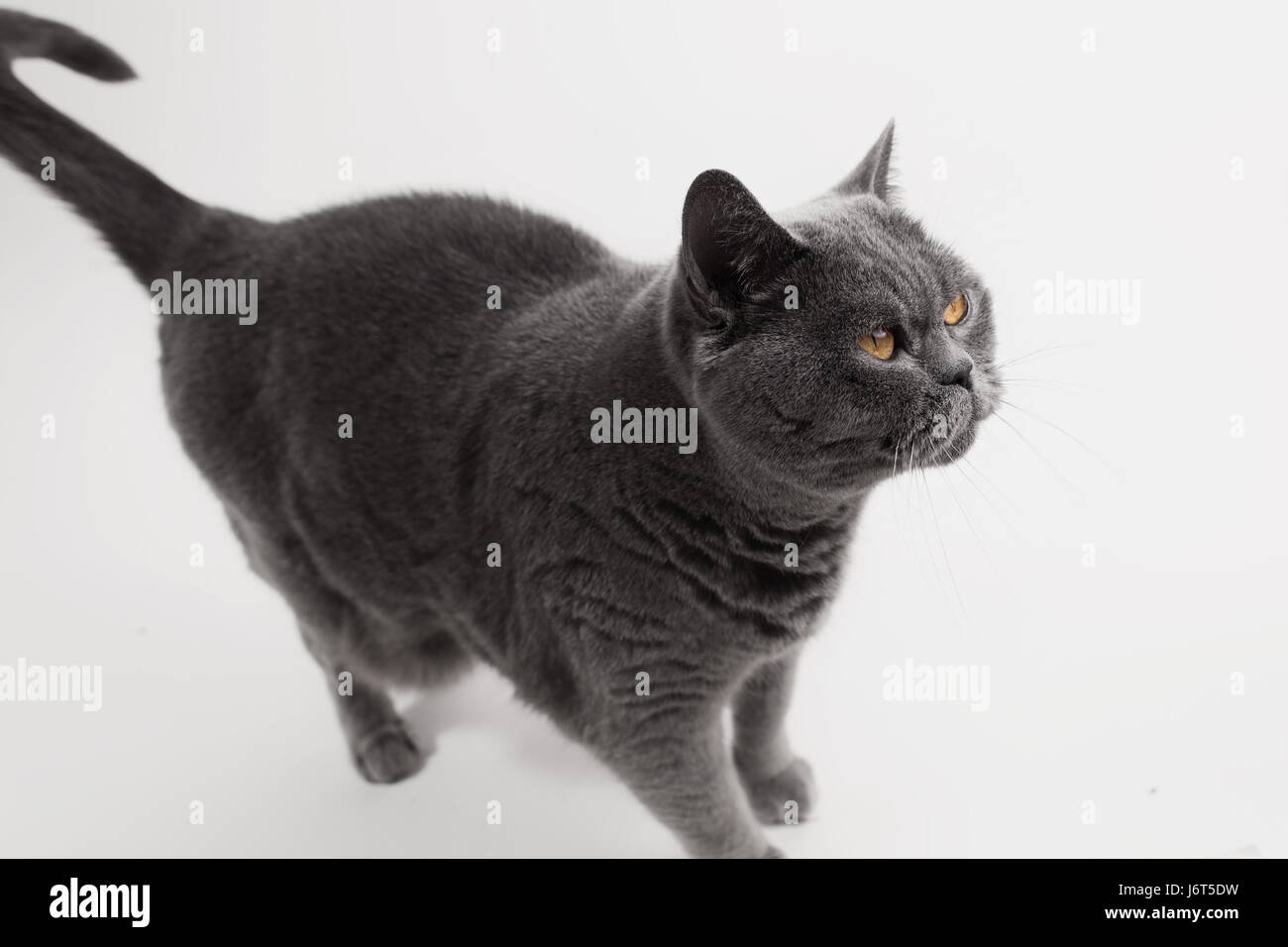 Gray British Shorthair cat playing on white background Stock