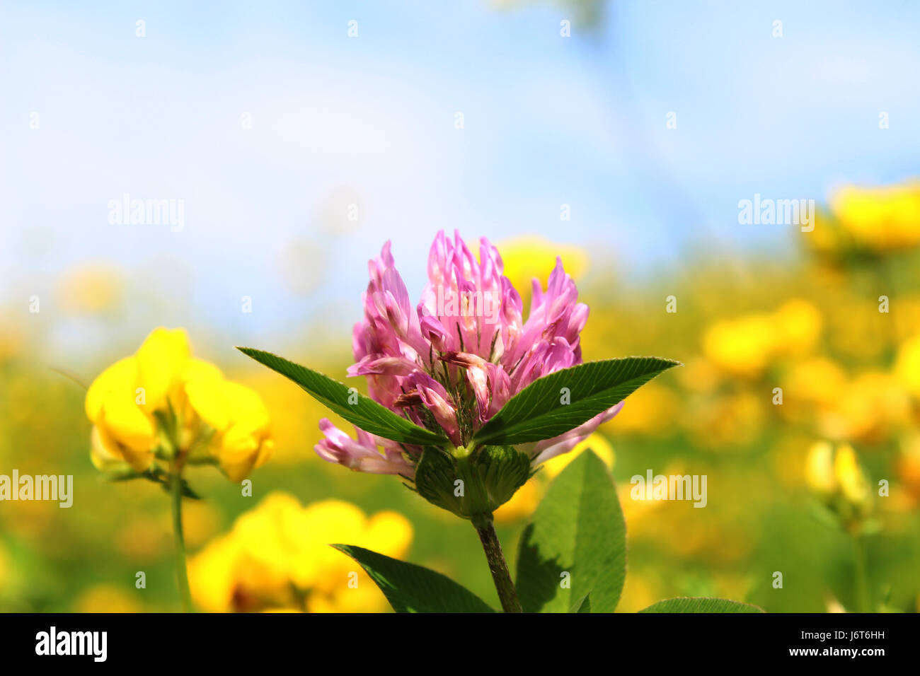 Violet Clover Flower With Many Yellow Flowers In Background Stock