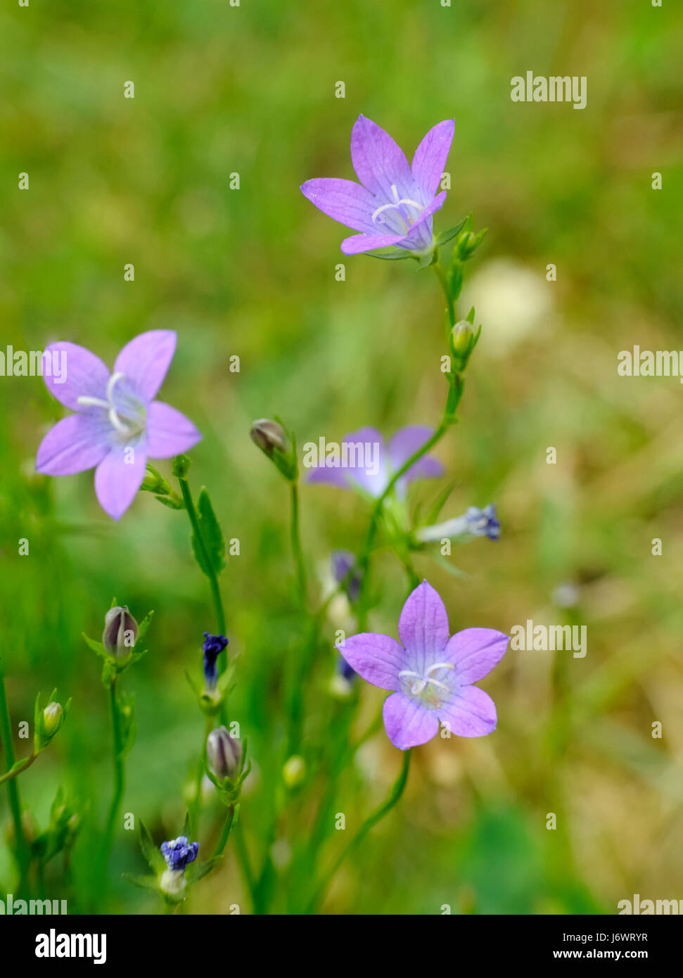 Flower Plant Bloom Blossom Flourish Flourishing Flora Bellflower