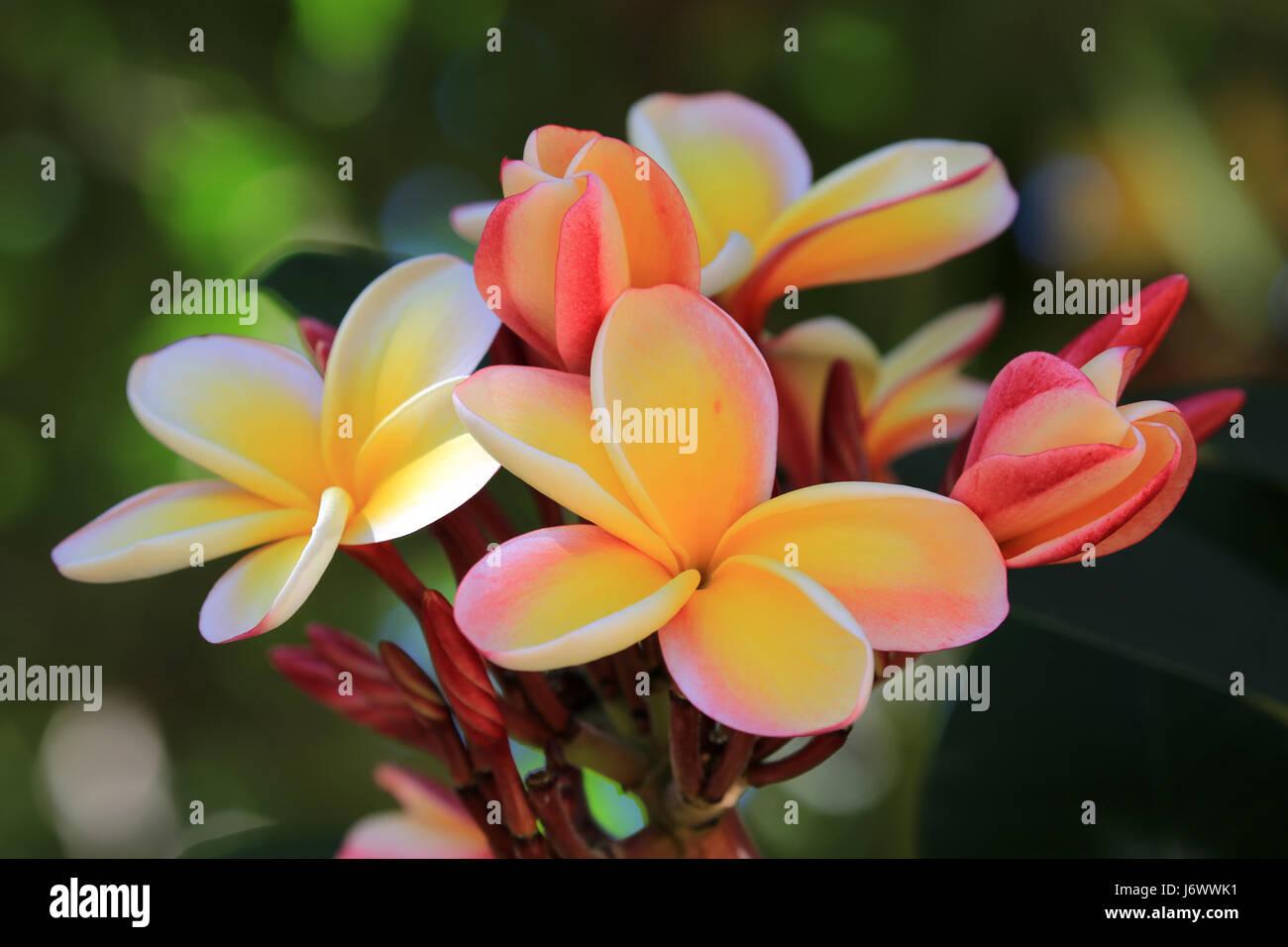 Lei rainbow plumeria flowers hawaii stock photo 141939813 alamy lei rainbow plumeria flowers hawaii izmirmasajfo