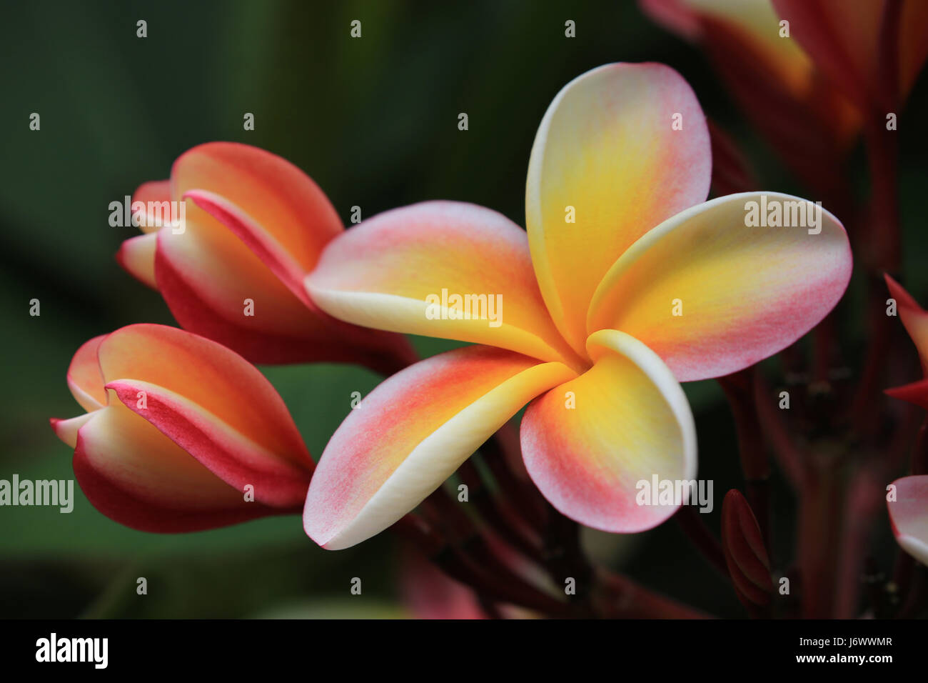 rainbow plumeria flower with buds hawaii stock photo