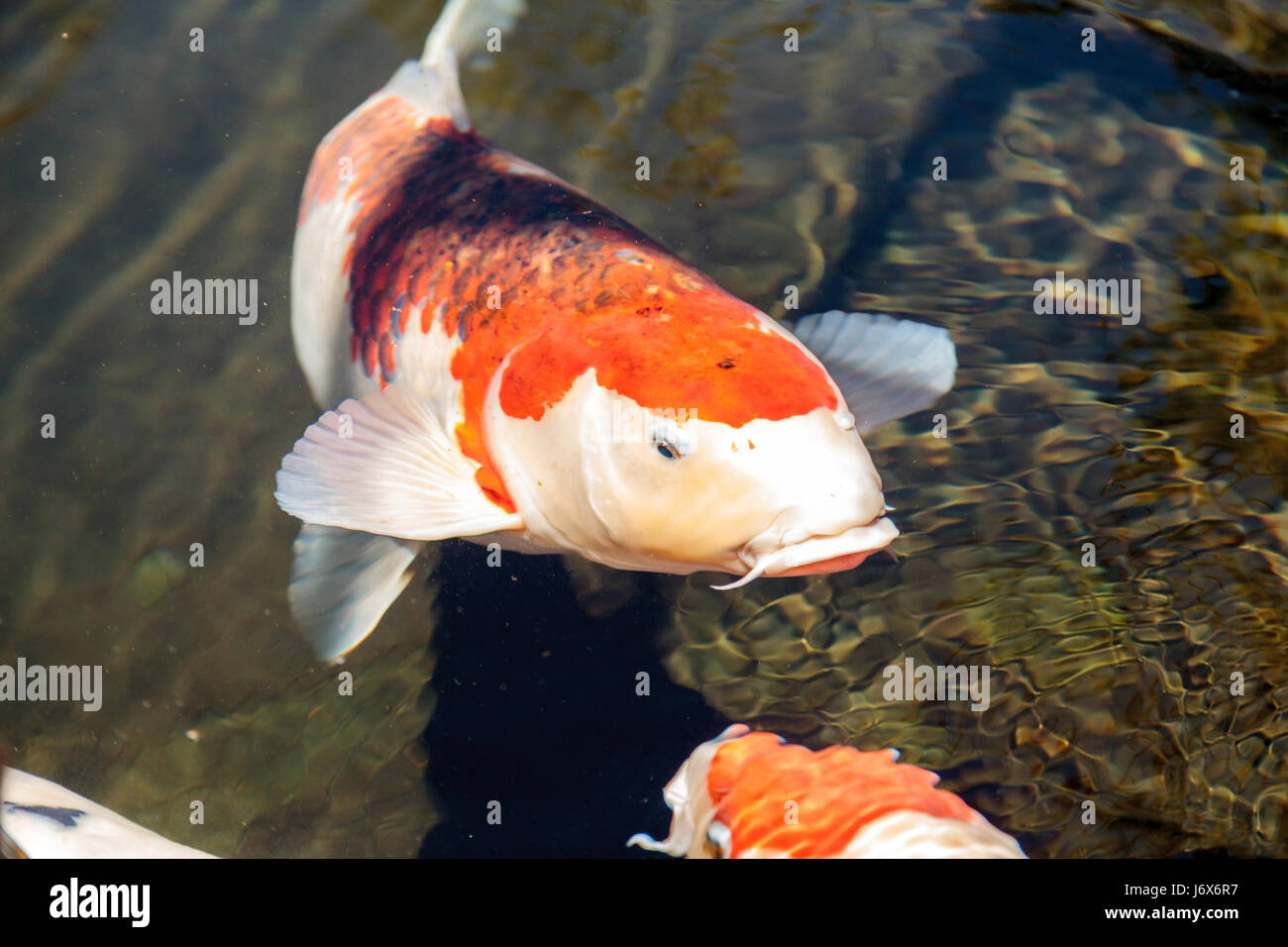 Koi fish cyprinus carpio haematopterus eating in a koi for What do koi fish eat